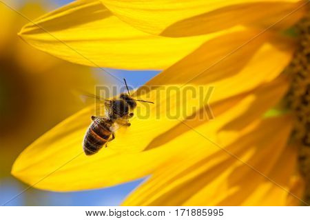 Honey bee in flight, yellow flower petals background. Macro view sunflower and insect searching nectar. Sunny summer day scene. Shallow depth field, selective focus