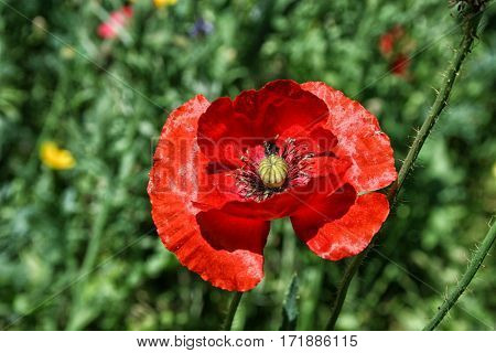 Bright Red Poppy On A Background Of Green Vegetation