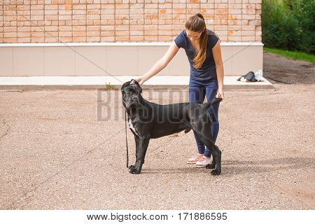 Handler with a dog Cane Corso Italian