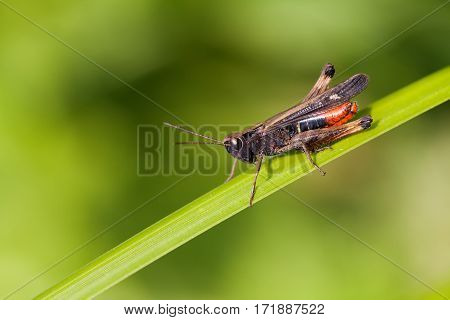 Grasshopper on a greenery color leaf. insect macro view, shallow depth of field, horizontal
