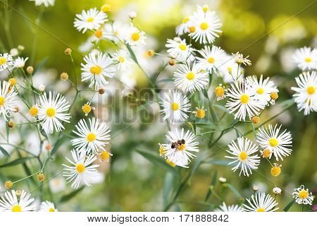 Small white flowers in the garden. Field of autumn daisies flowers. Nature landscape. Soft focus photo