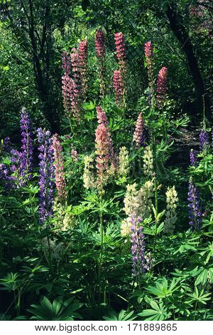 Cluster Of Multicolored Lupine In The Garden