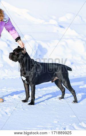 Cane Corso, Black Dog On The White Background