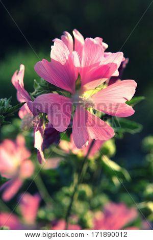 Pink Alcea Hollyhock On A Dark Background Close Up