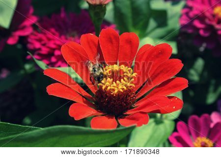 Bee Collecting Pollen On Red Zinnias In The Summer Season