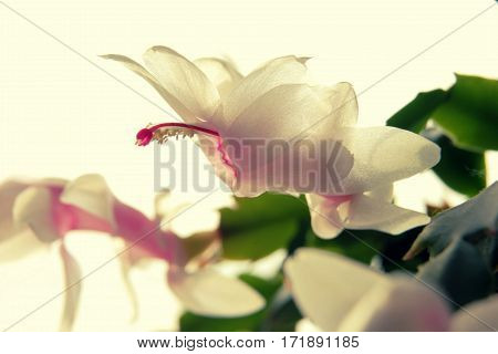 Gently Creamy White Flower Of Christmas Cactus Close Up