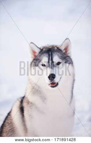 Portrait Of Husky Dog In The Snow