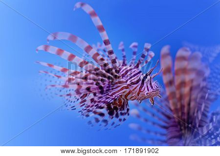 Dangerous poisonous fish swimming blue background. Red lionfish Pterois miles swimming in ocean. soft focus, copy space