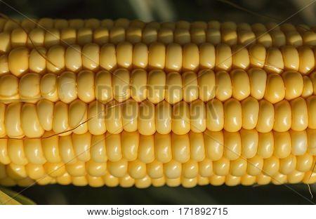 Fresh, yellow, juicy corn on the cob. Close-up