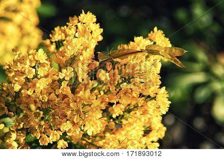 The Bright Yellow Flowers Of Mahonia Aquifolium Closeup