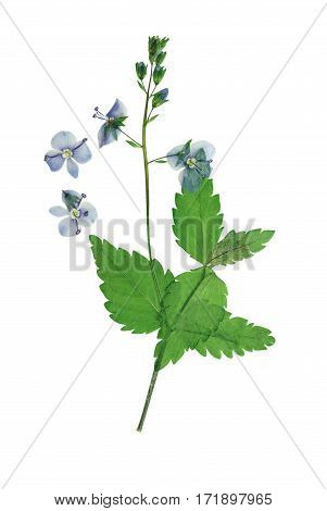 Pressed and dried flowers veronica officinalis isolated on white background. For use in scrapbooking floristry (oshibana) or herbarium