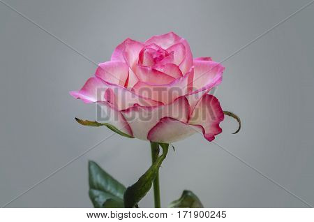 beautiful pink flower fragrant roses close-up on a light background