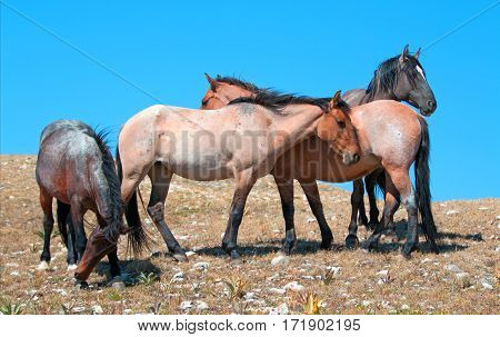 Small Band of Wild Horses on Sykes Ridge in the Pryor Mountains Wild Horse Range in Montana USA