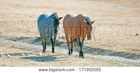 Wild Horse Dun Stallion And Blue Roan Mare On Tillett Ridge In The Pryor Mountains On The Montana Wy