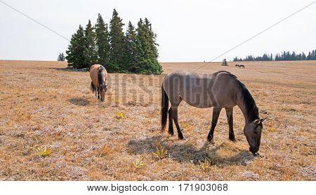 Wild Horses - Grullo Mare And Dun Stallion On Sykes Ridge In The Pryor Mountains Wild Horse Range In
