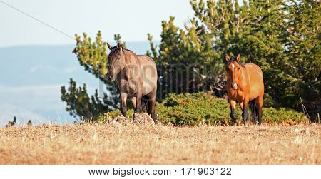 Wild Horses - Grullo Mare And Dun Stallion On Sykes Ridge In The Pryor Mountains Wild Horse Range In
