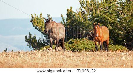 Wild Horses - Grullo Mare and Dun Stallion on Sykes Ridge in the Pryor Mountains Wild Horse Range in Montana USA poster