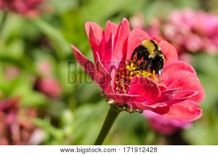 A black and yellow bumblebee feeding on a zinnia flowers nectar with its proboscis.