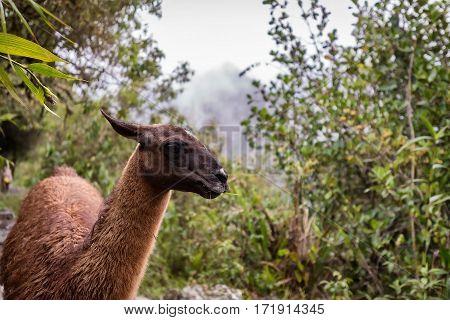 Llama walking along in Machu Picchu, lost city of the Incas