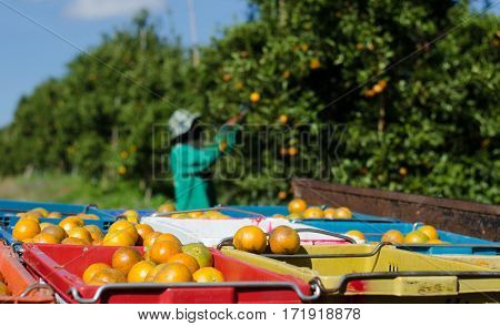 Ripe shogun orange in basket and agriculturist harvesting tangerine fruit in background