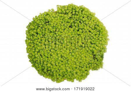 Gold Moss Sedum sedum de oro in pot isolated on white background