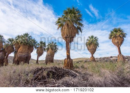 Line Of Palm Trees In The Desert With Blue Sky