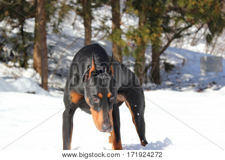 A figure of the Doberman pinscher. In the snowy mountains