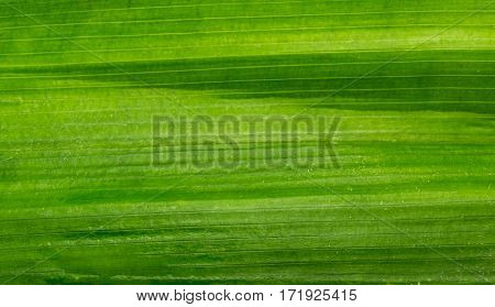 The green pandanus leaf closeup texture background.