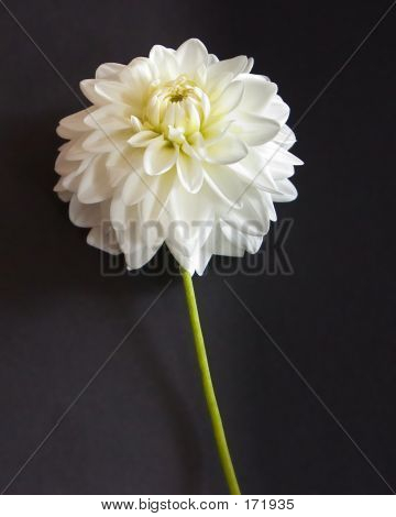 White Dahlia On Black