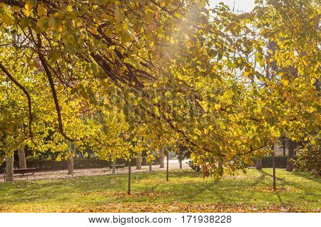 A ray of sun shining through branches of autumn trees with yellow leaves in a park. Selective focus