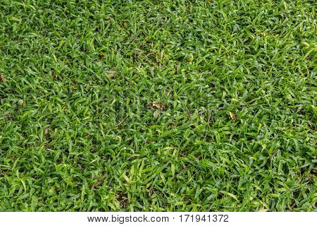 The green grass  texture nature a background