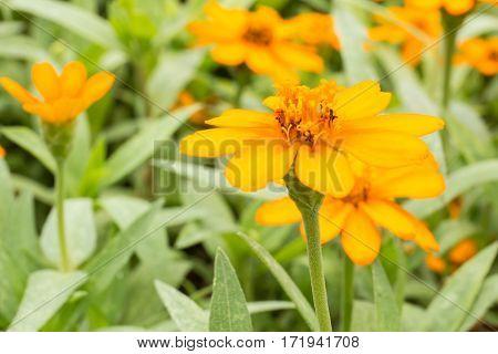 Wedelia Trilobata, Little Yellow Flower