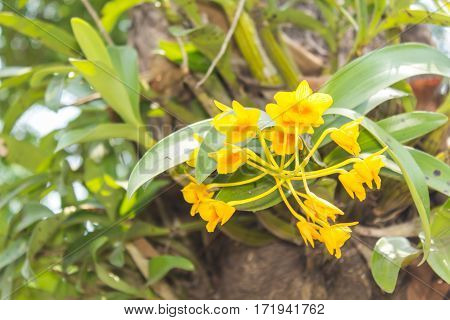 Dendrobium chrysotoxum Lindl , yellow orchid flower