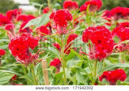 Beautiful Cockscomb Flower In The Garden