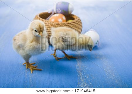 Fluffy Little Yellow Chickens And Easter Eggs On A Blue Wooden Background.