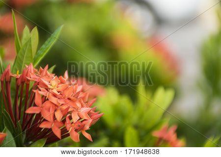 red flower. Ixora Rubiaceae stricta flora in Thailand.