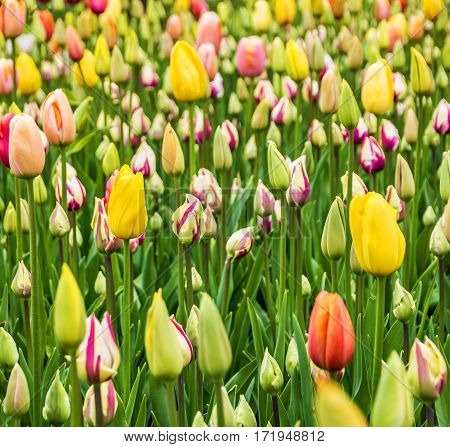 tulip field flowers in spring, Holland, Netherlands