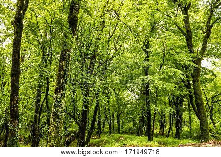 Green forest summer background, Montenegro, near monastery Ostrog.