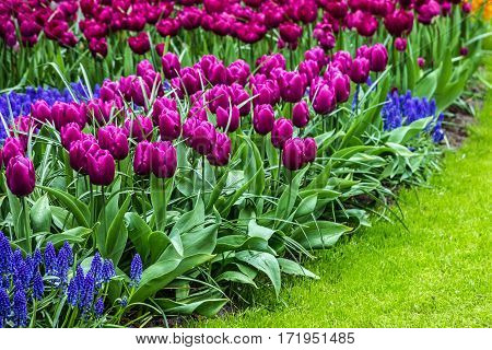 tulips flowerbed in Holland park, Keukenhof, Netherlands