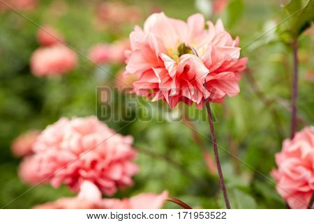 gardening, botany and flora concept - beautiful dahlia flowers at summer garden