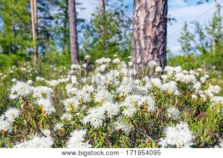 Spring landscape. Blooming Labrador tea in the spring coniferous forest.