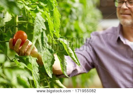 farming, gardening, agriculture and people concept - senior man or farmer growing tomatoes at greenhouse on farm
