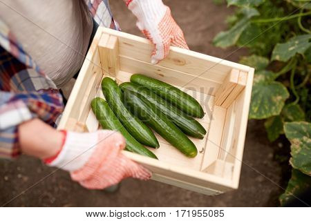 farming, gardening, agriculture and people concept - farmer with box of cucumbers at farm greenhouse