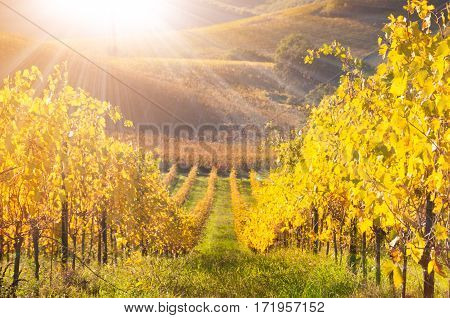 Colorful Vineyard with yellow Leaves in fall (autum)