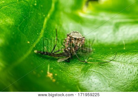 Macro Of Spider Eating Mosquito
