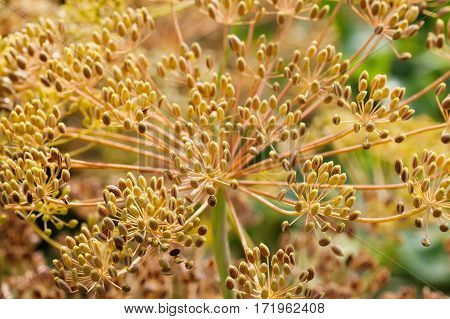 Dill seeds macro view. Ripe brown herb shallow depth of field.