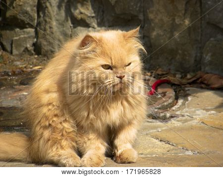 Red, dissatisfied cat sitting on stone wall background