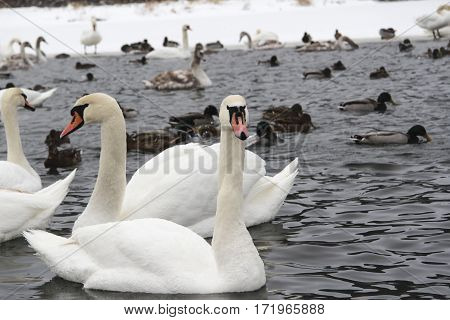 Whooper Swans in frozen lake in winter