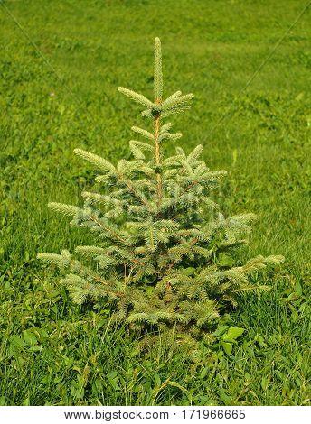 Landscape Design. Blue spruce green spruce white spruce Colorado spruce or Colorado blue spruce.
