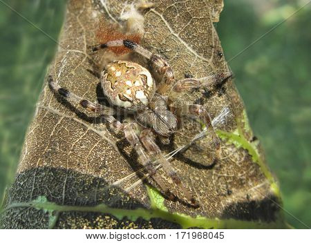 colorful ornamented spider sitting on a leaf